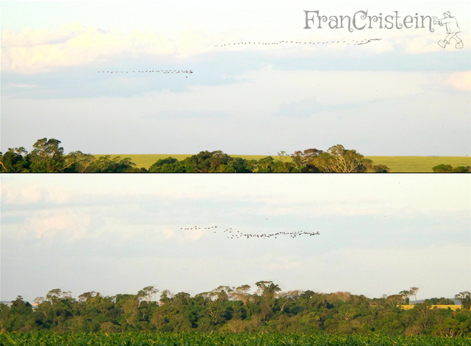 MANADA de passarinhos