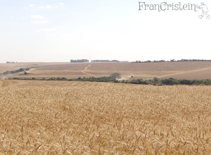 Coxilha de 100 hectares sendo colhida lá ó, só para ter uma noção.