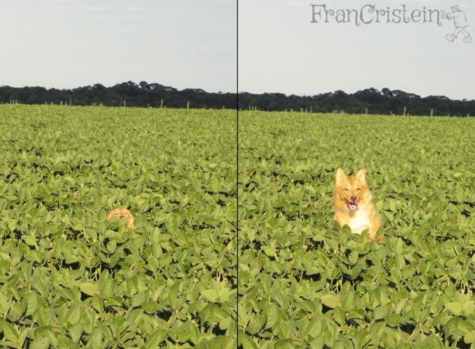 """Soja alto, Lassie cadê você? """"Estou aquiii"""""""
