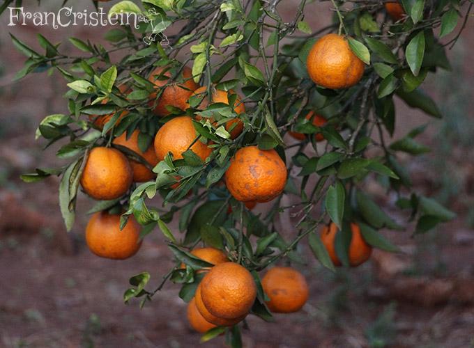 Bergamota tangerina